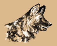 African Wild Dog Portrait. Black and white sketch of an African Wild Dog's head Royalty Free Stock Image