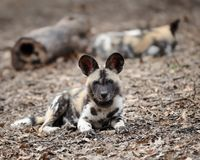 African wild dog pup Royalty Free Stock Photo