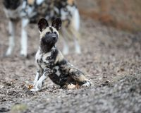 African wild dog pup Stock Images