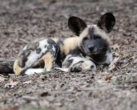 African wild dog pup Royalty Free Stock Image