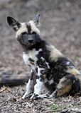 African wild dog pup. Sitting African wild dog (Lycaon pictus) pup Royalty Free Stock Images