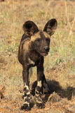 African Wild Dog pup Stock Image