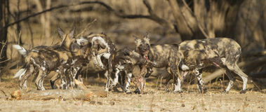 African Wild Dog pupies playing with Impala skull Royalty Free Stock Images