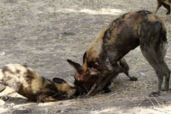 African Wild Dog Puppies Feeding Time Stock Images