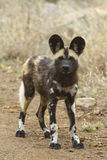 African Wild Dog Puppy. Portrait of an African Wild Dog puppy Royalty Free Stock Image