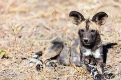 African Wild Dog puppy. Endangered animal African wild dog puppy in safari park in South Africa Stock Photos
