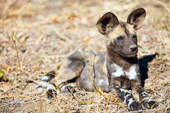 African Wild Dog puppy Royalty Free Stock Photo