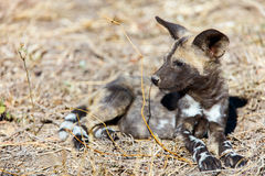 African Wild Dog puppy. Endangered animal African wild dog puppy in safari park in South Africa Stock Photography