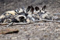African wild dog pups Stock Photos