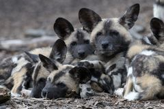 African wild dog pups Stock Image