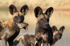 African Wild Dog pups Royalty Free Stock Image