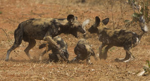 African Wild dog pups being fed. By adult dog Royalty Free Stock Images