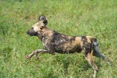 African Wild Dog. Rare African Wild Dog running Stock Photos