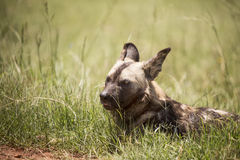 African wild dog. Resting on the edge of a mud path wile the pack is walking around Stock Image