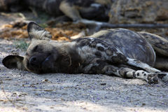 African Wild Dog. Resting African wild dog, after a kill on the plains Stock Photography