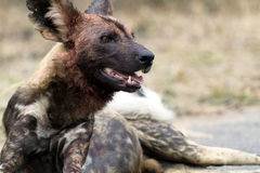 African Wild Dog. Resting after a kill taken in the Kruger Natinional park, South Africa Stock Photo
