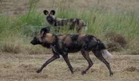 African wild dog belonging to a pack of rare African wild dogs, photographed at Sabi Sand Game Reserve, Kruger, South Africa. African wild dog running royalty free stock image