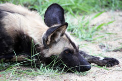The African wild dog's head predator lies. Reserve Kruger Park, South Africa Royalty Free Stock Photo
