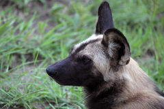 The African wild dog's head. Reserve Kruger Park, South Africa Stock Images