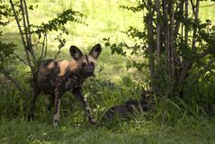 African wild dog, Selous National Park, Tanzania. One of the rarest carnivore in the world, the african wild dog (Lycaon pictus) have found a safe shelter in Stock Photo