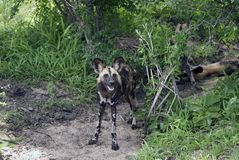 African wild dog, Selous National Park, Tanzania. One of the rarest carnivore in the world, the african wild dog (Lycaon pictus) have found a safe shelter in Royalty Free Stock Photography