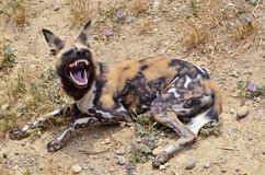 African Wild Dog showing its teeth Stock Image