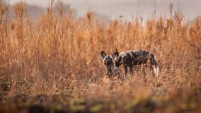 African wild dog. An African wild dog in the South African savanna Stock Photography