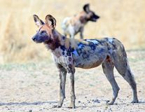 African wild dog standing looking intently ahead in south luangwa national park, zambia Royalty Free Stock Photography