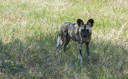 African wild dog standing and staring in wild life. African wild dog standing and staring  in wild life safari park africa Stock Image