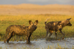 African Wild Dog standing in water. Two African Wild Dog (Lycaon pictus) standing in water Royalty Free Stock Images