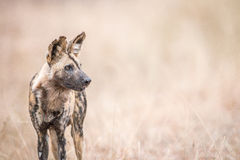 African wild dog starring in the Kruger National Park. Royalty Free Stock Photos