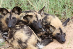 African Wild dog trio laying down Stock Images