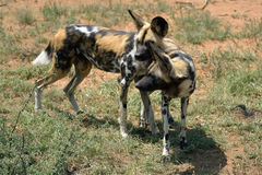 African Wild Dog. Two of the African Wild Dog in the savanna, Namibia Royalty Free Stock Photo