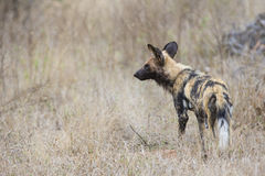 African wild dog waiting for approaching prey Royalty Free Stock Photo