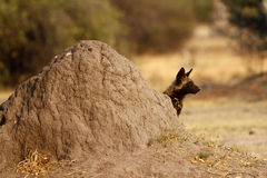 African Wild Dog Termite Mound Stock Photo