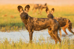 African Wild Dog in water. These African Wild Dog (Lycaon pictus) are cooling down and playing in the floodplains of the Zambezi river in the late afternoon of a Stock Image