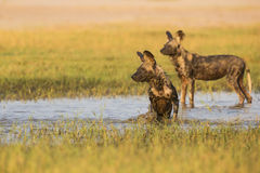 African Wild Dog in water. Two African Wild Dog (Lycaon pictus) in water Royalty Free Stock Photography