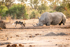 African wild dog and White rhino in the Kruger National Park, So Stock Photography
