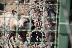 African wild dog in zoo Stock Photography