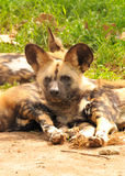 African wild dogs. Are resting in a grassy, sandy area Royalty Free Stock Photos