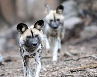 African wild dogs. A pair of African wild dogs (Lycaon pictus Stock Images