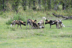 African wild dogs. A pack of African Wild Dogs were facing two resting male lions. They were taunting them with noise, but the lions didn't react at all, after a Royalty Free Stock Image