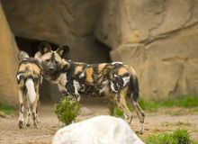 African wild dogs. At the Lincoln Park Zoo in Chicago Royalty Free Stock Photo