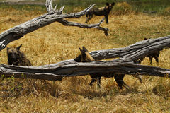 African Wild Dogs in Action. Resting African wild dog, after a kill on the plains Royalty Free Stock Photos