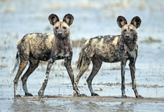 African wild dogs. Africa  Botswana, african wild dogs Stock Photo