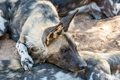 African Wild Dogs 6. African Wild Dogs in Namibian savanna Stock Photography