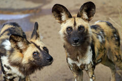 African wild dogs. Pilanesberg National Park, South Africa Royalty Free Stock Photo