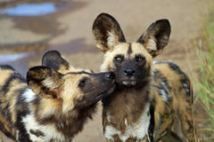 African wild dogs. Pilanesberg National Park, South Africa Stock Image