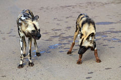 African wild dogs. Pilanesberg National Park, South Africa Royalty Free Stock Image