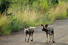 African wild dogs. Pilanesberg National Park, South Africa Royalty Free Stock Photos